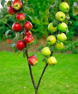 Elmanın-Yararlari-Nelerdir
